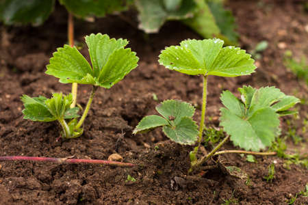 Small Young Strawberry Plant (Sprout) On Ground In Garden Outdoor - Close Up. Stock Photo