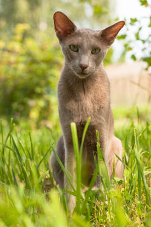Portrait Of Cute Cat Of Breed Oriental 2 Years Old Sitting On Grass In Summer Garden Outdoor.