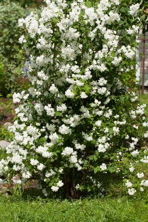 Beautiful big bush with white flowers of jasminum grow in summer beautiful big bush with white flowers of jasminum grow in summer sunny garden stock photo mightylinksfo