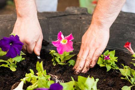 Spring Planting. Hands Of Men Farmer Put Seedling Young Flowers Petunia In Ground In Flowerbed In Garden.