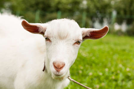 Portrait Of Cute White Goat On Sunny Summer Meadow Close Up. Stockfoto