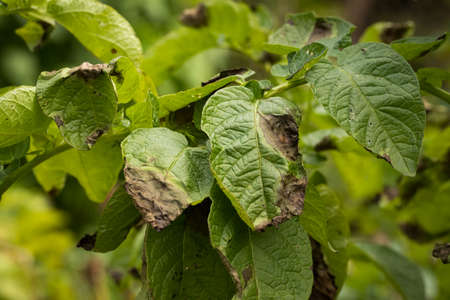 Leaves Plant Of Potato Stricken Phytophthora (Phytophthora Infestans) In Vegetable Garden Close Up.