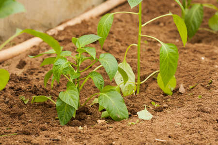 Young Plants Of Pepper With Leaves Growing  In Vegetable Garden Close Up. Stock fotó