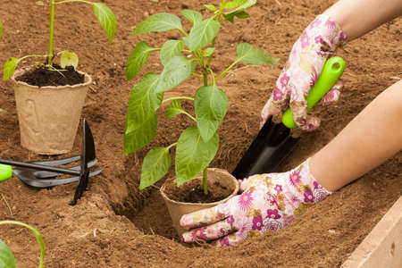 Planting Vegetable Plant. Hand Farmer Plant Young Pepper In Ground With Grass Close Up. Stock fotó