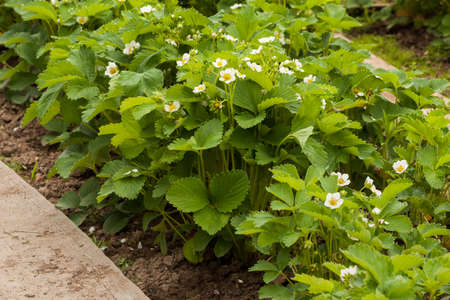 Fresh Young Bush With White Flowers Of Strawberry Growing In Garden Bed Top View.