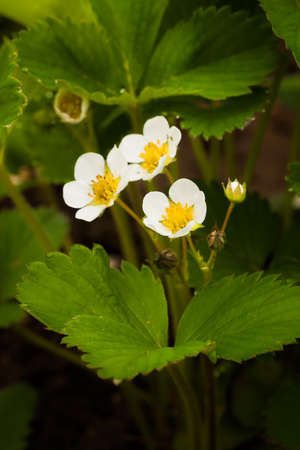 Beautiful White Flowers Of Strawberry With Leaves In Garden Close Up. Stock fotó