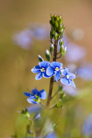 Beautiful Tiny Blue Wild Flowers Veronica On Blurred Background Grow On Meadow Field In Summer Day. Stock fotó