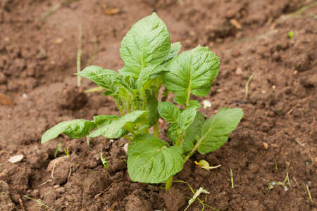 Young Sprout Of Potato With Green Leaves Growing From Soil On Potato Field Close Up. Stock fotó