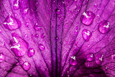 Beautiful Violet, Purple Petal Of Flower Iris With Drops Of Water. Texture And Background. Close Up.
