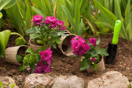Planting Flowers. Purple Flowers Chrysanthemum In Peat Pots In Ground With Tool Scoop In Flowerbed In Garden. Stock fotó