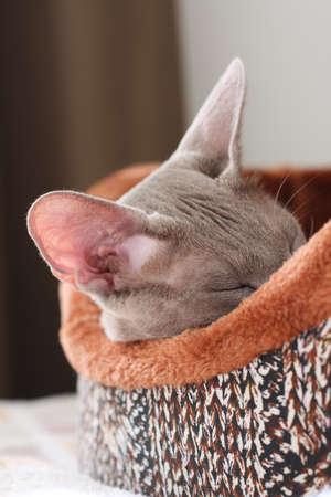 Pet. Portrait Of Gray Cat Sleeps In Her Soft Couch In Cozy Warm Room Indoor Close Up.