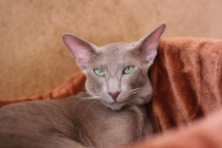 Pet. Portrait Of Gray Short-Haired Cat With Green Eyese Lie In Her Soft Couch In Cozy Warm Room Indoor Close Up. Cat Rest. Stock fotó