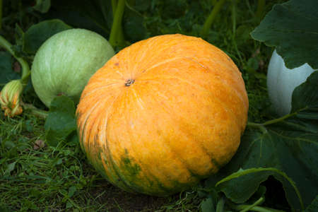 Pumpkin. Young Fresh Orange Pumpkin Grow In Garden Summer Close Up. Stock fotó