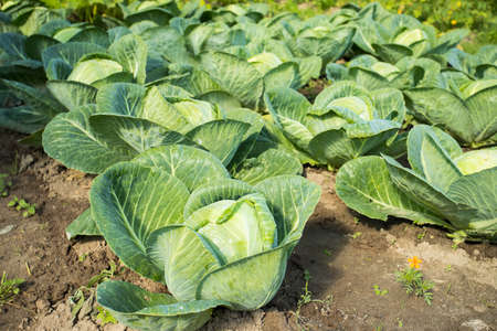 Cabbage. Fresh Young Green Plant Cabbage Grow On Vegetable Field Outdoor Summer. Stock fotó