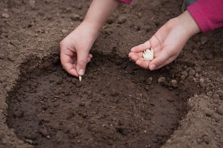 Child Hands Plant Seed Of Squash On Ground In Vegetable Garden Close Up. Spring Planting Of Vegetables.