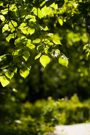 Branch With Linden Leaves On Green Background Of Garden Outdoor Summer Close Up. Foto de archivo