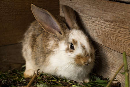 Rabbit. Cute Small Domestic White And Brown Rabbit Sit In Barn On Wooden Background. Stock fotó