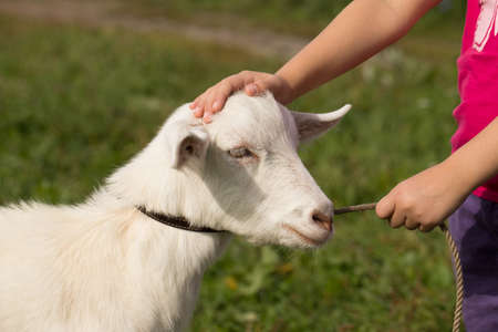 Goat And Child. Little Girl Holding Leash And Stroking Pet Goat On Meadow In Sunny Day In Summer Close Up.