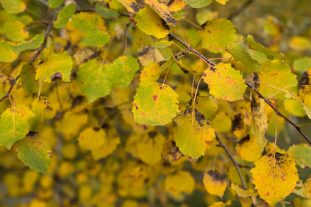 Yellow Leaves Of Birch On Branch In Autumn Park Outdoor Close Up. Stock fotó