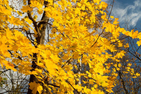 Autumn Season. Tree With Brightly Yellow Leaves In Sunny Autumn Park. Stock fotó