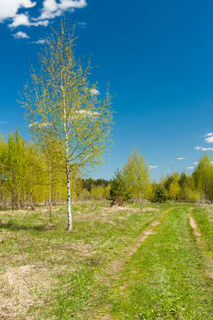 Sunny Spring Landscape: Road Path To Forest, Young Birch Tree, Growing Young Green Grass On Blue Sky Background. Reklamní fotografie