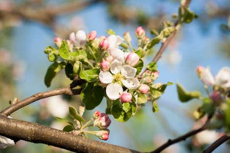 Blossom Flowers Apple Tree Blooming In Spring Sunny Garden. Seasonal Flowers. Reklamní fotografie