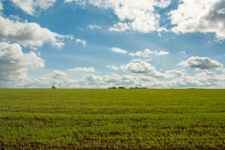 Beautiful Landscape On Agricultural Rural. Green Wheat On Spring Field On Dramatic Blue Sky.