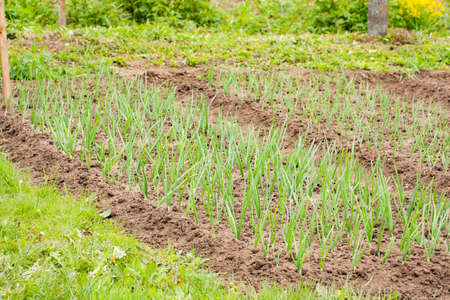 Young Sprouts Onion Growing From Soil On Garden Bed Spring Outdoor Close Up.
