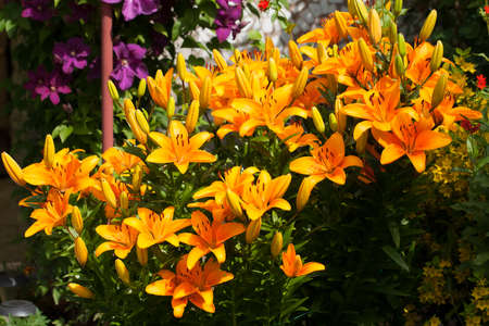 Lily Advantage. Beautiful Yellow Orange Flowers Of Lily Advantage Grow In Flower Bud In Bright Summer Day.