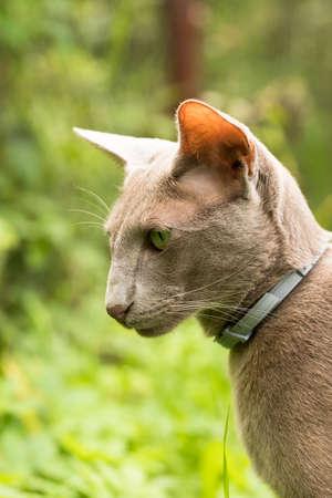 Cat Of Oriental Breed. Oriental Shorthair Gray Cat Walking In Summer Garden Outdoors Close Up.