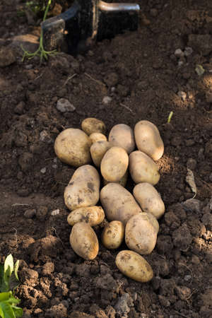 Fresh Vegetables Potato. Young Ripe Yellow Potatoes On Agricultural Ground Top View.