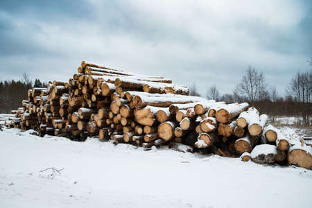 Natural Wooden Logs Of Felling In Winter Forest.  Logging Of Environment For Lumber Industry.