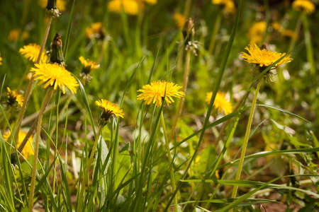 Dandelion. Beautiful Yellow Flowers Of Dandelion Growing On Meadow In Sunny Day At Spring.