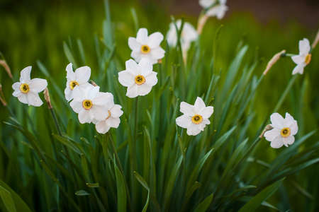 Narcissus Flower. Beautiful Spring Flowers Narcissus Color White With Green Leaves Growing In Garden.