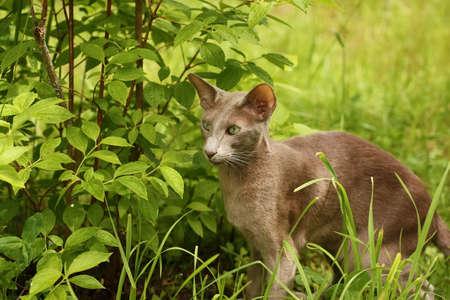 Active Gray Cat Of Breed Oriental Shorthair Walking In Garden Summer Outdoors.