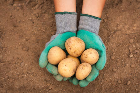Close Up Of Female Hand Hold Fresh Potatoes On Background Of Ground On Vegetable Field Top View. Stok Fotoğraf