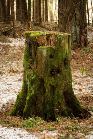 Close Old Wooden Tree Stump With Green Moss In Forest At Spring.