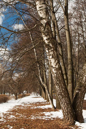 Birch Grows In Park With Melting Snow At Spring Close Up. Reklamní fotografie