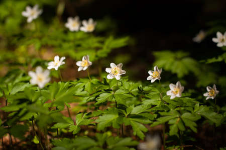 Beautiful White Flowers Of Anemone With Green Leaves Growing In Sunny Day In Wild Forest At Spring. Reklamní fotografie