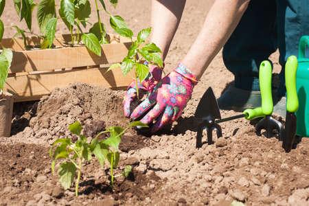 Seasonal Planting Of Plant Vegetables. Female Farmer Planting Seedling Plant Of Pepper With Leaves In Garden In Sunny Day Outdoors. Reklamní fotografie