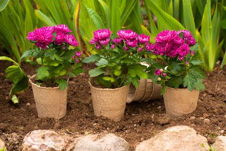 Planting Flowers. Violet Flowers Of Chrysanthemum In Pots On Ground In Garden In Spring.