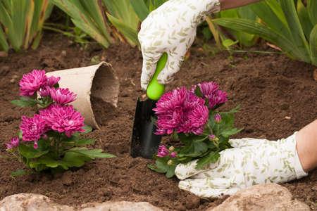 Spring Planting Flowers On Flower Bloom. Female Gardener Put Fresh Bouquet Flowers Chrysanthemum In Ground In Garden In Spring. Reklamní fotografie