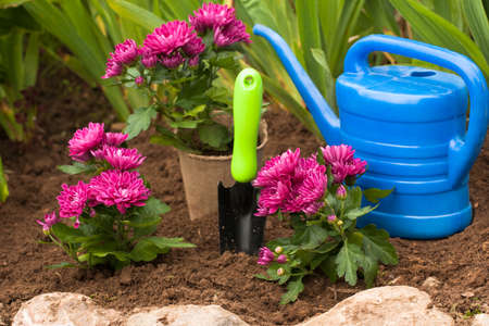 Purple Flowers Chrysanthemum On Ground In Flowerbed With Tool Scoop And Watering Can In Garden At Spring. Reklamní fotografie