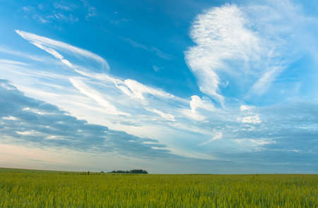 Beautiful Landscape With Blue Sky With White Dramatic Clouds Over Yellow Wheat On Agricultural Rural.