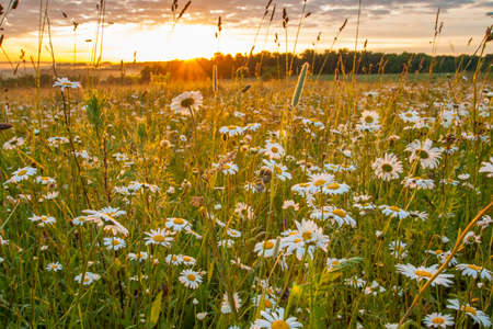 Flower Meadow With Chamomile With Dew Under Sunrise Sunny Early Morning In Summer.