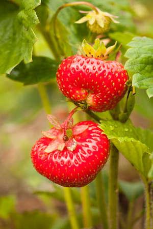 Strawberry. Red Strawberries With Green Leaves Grown In Summer Garden Macro. 版權商用圖片