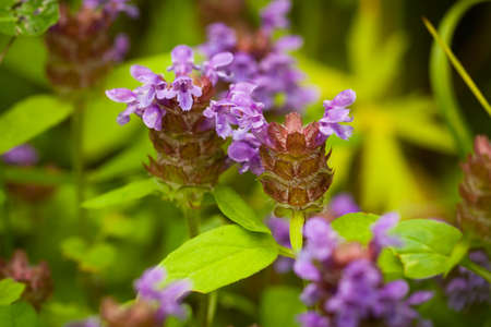 Beautiful Meadow Flowers Prunella Vulgaris Grow On Sunny Summer Meadow Close Up.