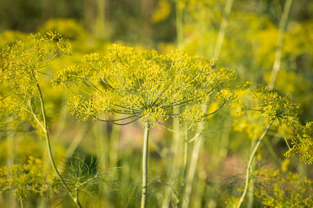 Umbrella Dill. Flowering Blossom Green Plant Of Dill Growing In Sunny Garden Summer.