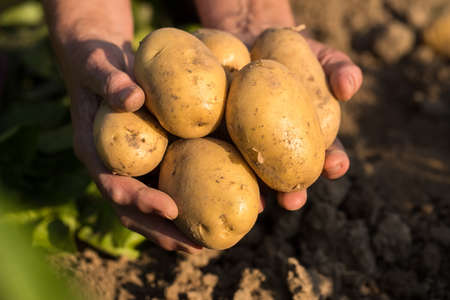 Harvesting Potatoes. Fresh Yellow Potatoes On Hands Of Gardener On Potato Field In Sunny Day In Summer Close Up.