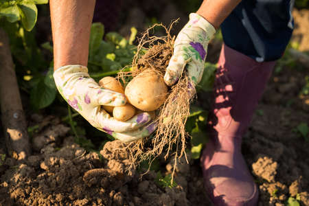 New Seasonal Crop. Time Harvesting Potatoes. Hands Of Elderly Woman Holding Fresh Potatoes With Roots Dug From Ground In Vegetable Garden.